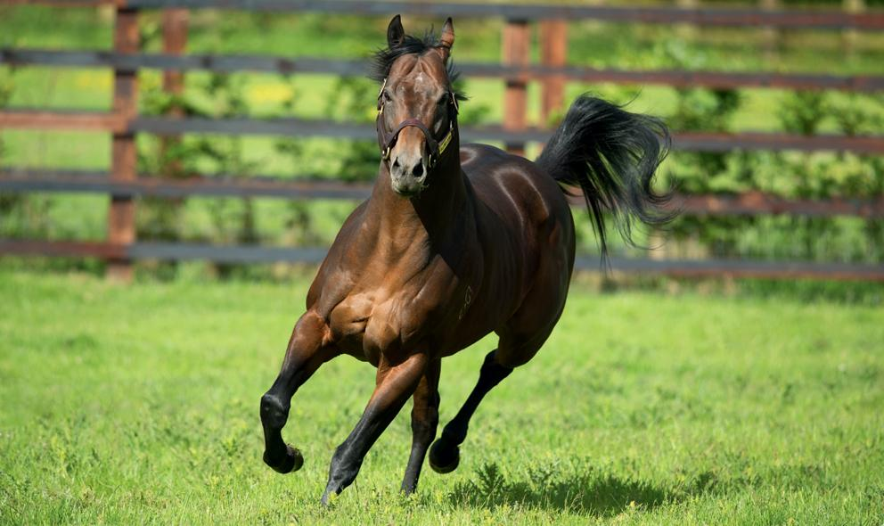 news_hallowed_crown_0018-rt_throughbred_stallion